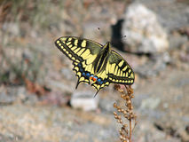 Beau papillon jaune - une photo 6 Image stock