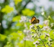 Beau papillon orange rétro-éclairé Images stock