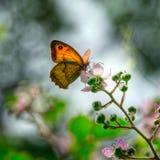 Beau papillon rétro-éclairé Photographie stock libre de droits