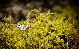 Beau papillon rare de machaon Images libres de droits