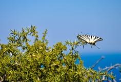Beau papillon rare de machaon Photographie stock libre de droits