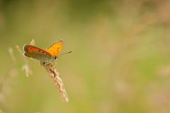 Beau papillon se reposant sur une herbe Image libre de droits
