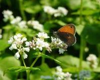 Beau papillon sur la fleur blanche, Lithuanie Photo stock