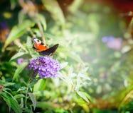 Beau papillon sur le buisson de papillon au-dessus du fond brouillé de jardin de fleurs Photographie stock libre de droits