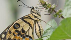 Beau papillon sur le plan rapproch? de feuille banque de vidéos