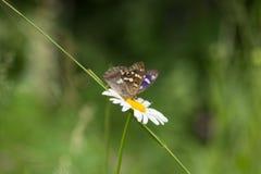 Beau papillon sur une camomille de fleur image libre de droits