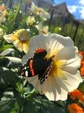 Beau papillon sur une fleur blanche image libre de droits