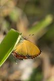 Beau papillon tenant la feuille d'herbe Photos libres de droits