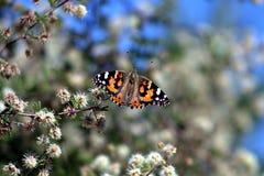 Beau papillon tout en augmentant dans les montagnes de superstition images libres de droits