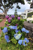 Beau parc avec les hortensias bleus et roses à Ribeira grand L'île de San Miguel Photos stock