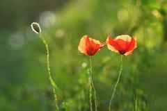 Beau pavot fleurissant dans l'herbe verte dans le domaine Papaveraceae Photographie stock libre de droits