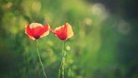 Beau pavot fleurissant dans l'herbe verte dans le domaine Papaveraceae Photographie stock