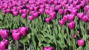 Beau paysage avec des tulipes dans un domaine en Hollande Pleine vidéo de HD (définition élevée) banque de vidéos