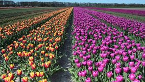 Beau paysage avec des tulipes dans un domaine en Hollande Pleine vidéo de HD (définition élevée) clips vidéos
