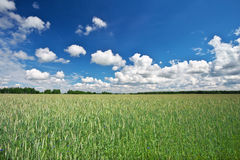 Beau paysage avec le champ du seigle et du ciel bleu Images libres de droits