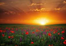 Beau paysage avec le coucher du soleil gentil au-dessus du champ de pavot photo libre de droits