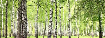 Beau paysage avec les bouleaux blancs Photographie stock libre de droits