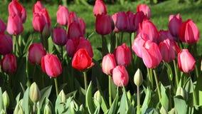 Beau paysage avec les tulipes roses banque de vidéos