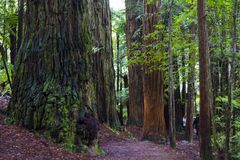 Beau paysage de forêt de séquoia image libre de droits