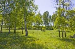 Beau paysage le bois vert avec des couleurs jaunes dans une herbe verte Photo libre de droits