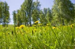 Beau paysage le bois vert avec des couleurs jaunes dans une herbe verte Images libres de droits