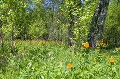 Beau paysage le bois vert avec les fleurs oranges dans une herbe verte Images libres de droits