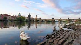Beau paysage magique avec les cygnes blancs chez Vltava près de Charles Bridge dans la vieille ville de Prague, République Tchèqu banque de vidéos