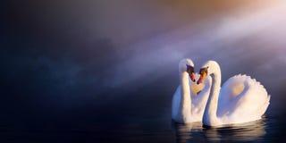 Beau paysage roman d'art ; cygne de blanc de couples d'amour photos libres de droits