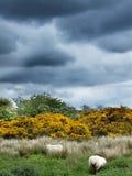 Beau paysage rural avec des moutons images stock