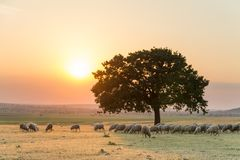 Beau paysage rural avec un troupeau des moutons et un grand arbre isolé dans la lumière d'arrangement de l'heure d'or photo libre de droits