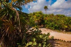 Beau paysage tropical avec des cactus et des palmiers Tulum, Maya du Mexique, Yucatan, la Riviera Images libres de droits