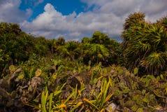 Beau paysage tropical avec des cactus et des palmiers Tulum, Maya du Mexique, Yucatan, la Riviera Image stock