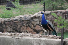 Beau peacok masculin vu au zoo de Johannesburg Photos libres de droits