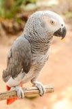 Beau perroquet Images libres de droits