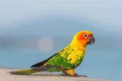 Beau perroquet coloré, Sun Conure Images libres de droits