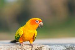 Beau perroquet coloré, Sun Conure Photos stock
