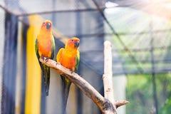 Beau perroquet coloré, Sun Conure (solstitialis d'Aratinga), g Photo stock