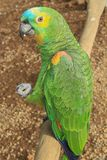 Beau perroquet fait face jaune Photos libres de droits