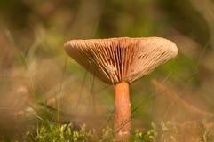 Beau petit champignon avec le bokeh rêveur Photographie stock libre de droits