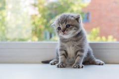 Beau petit chaton tigré sur le filon-couche de fenêtre Race de pli d'écossais Photographie stock libre de droits