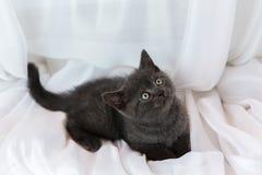 Beau petit chaton tigré sur le filon-couche de fenêtre Race des Anglais Shorthair Photo stock