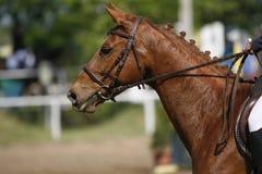 Beau petit galop sautant de race de cheval coloré par châtaigne sur l'exposition Photographie stock libre de droits