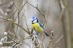 Beau petit oiseau de mésange bleue chantant une chanson sur un saule pelucheux Image libre de droits