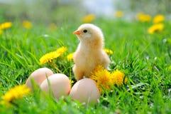 Beau petit poulet Images libres de droits