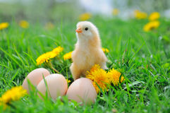 Beau petit poulet Images stock