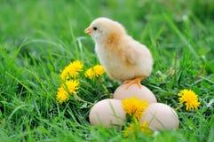 Beau petit poulet Photographie stock libre de droits