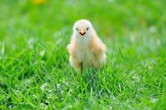 Beau petit poulet Photographie stock