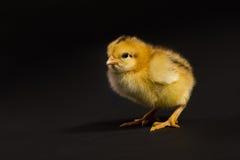 Beau petit poulet sur le noir Image stock