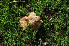 Beau petit poussin dans l'herbe verte Photo stock