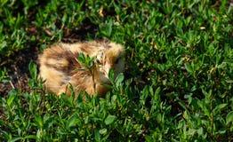 Beau petit poussin dans l'herbe verte Photos libres de droits